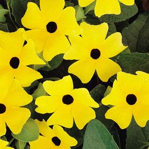 Black Eyed Susan Vine - Thunbergia Lemon